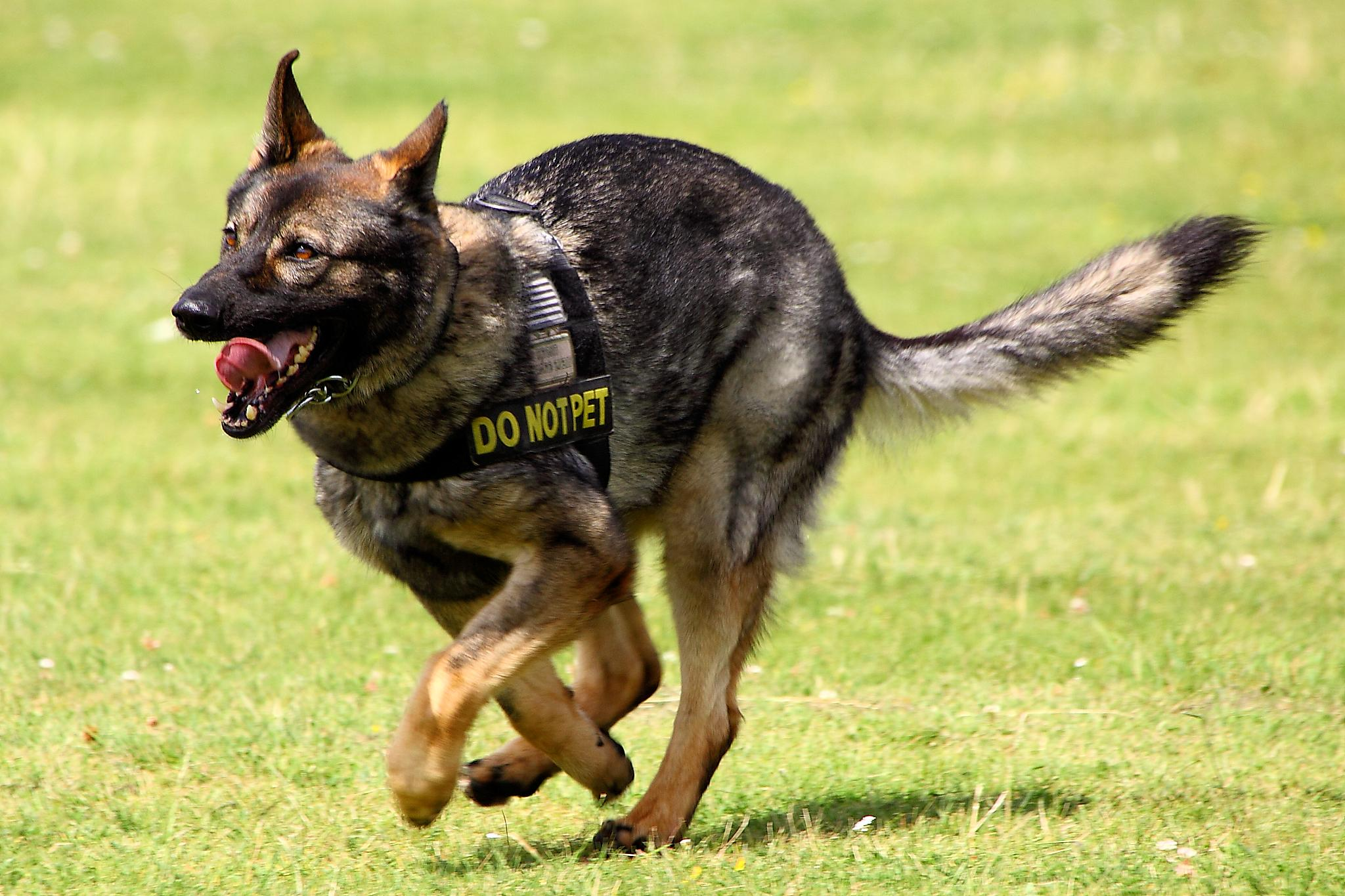 Picture of a military working dog running on green grass. His mouth is open.